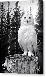 Acrylic Print featuring the photograph Snowy  by Adam Olsen