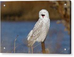Snowy Owl Yawning Acrylic Print by Stephanie McDowell