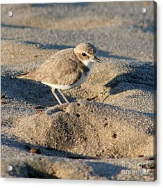 Acrylic Print featuring the photograph Snowy Plover by Bob and Jan Shriner