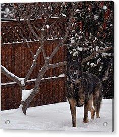 Snowy Shepherd Acrylic Print by Nikki McInnes