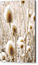 Snowy Thistle Acrylic Print by The Forests Edge Photography - Diane Sandoval