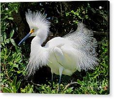 Snowy White Egret Breeding Plumage Acrylic Print by Jennie Breeze