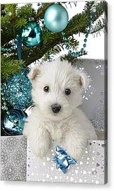 Snowy White Puppy Present Acrylic Print by Greg Cuddiford