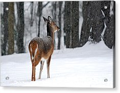Snowy White Tail Acrylic Print by Christina Rollo