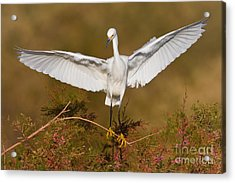 Acrylic Print featuring the photograph Snowy Wingspread by Bryan Keil