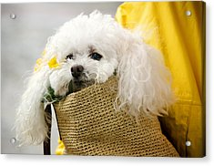 Snuggled Poodle Dog Acrylic Print by Donna Doherty