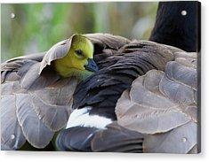 Snuggling Gosling Acrylic Print