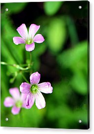 So Delicate In Purple. Texas Spring Perennial Acrylic Print