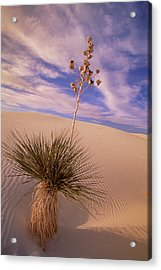 Soaptree Yucca  On Dune White Sands Acrylic Print by