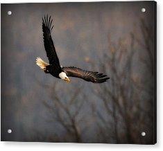 Soar Like An Eagle Acrylic Print by Angel Cher