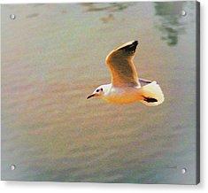 Soaring Gull Acrylic Print