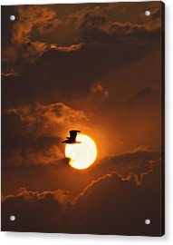 Soaring In The Sun Acrylic Print by Tony Reddington