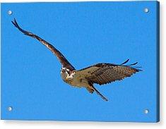 Soaring Osprey Acrylic Print by Adam Pender