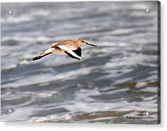 Soaring Willet Acrylic Print