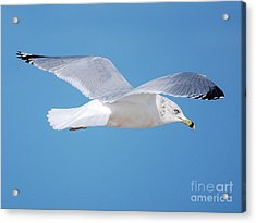 Soaring  Acrylic Print by William Wyckoff