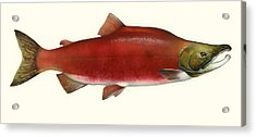 Sockeye Salmon Acrylic Print by Mountain Dreams