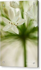 Soft Agapanthus Acrylic Print by Anne Gilbert