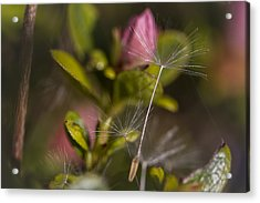 Soft And Delicate Acrylic Print