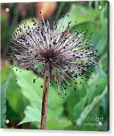 Acrylic Print featuring the photograph Soft And Spikey by Alison Caltrider