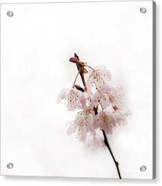 Soft Cherry Plum Acrylic Print