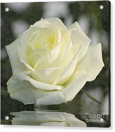 Soft Cream Rose Acrylic Print by Brian Roscorla
