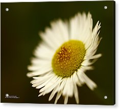 Soft Lighted Daisy Acrylic Print by Alexandra  Rampolla