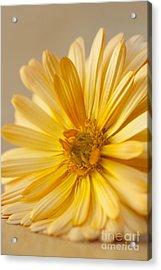 Soft Marigold Acrylic Print