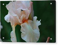 Soft Peach Iris Acrylic Print