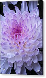 Soft Pink Mum Acrylic Print by Garry Gay