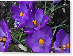 Soft Purple Crocus Acrylic Print