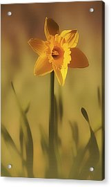 Soft Spring Daffodil Acrylic Print by Anne Macdonald