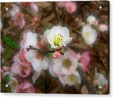 Acrylic Print featuring the photograph Soft Spring Quince Blossoms by MM Anderson