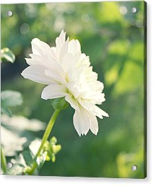 Soft White Dahlias Acrylic Print by Cathie Tyler