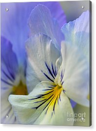 Soft White Pansy Acrylic Print by Amy Porter