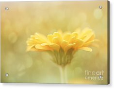 Soft Yellow Gerbera Acrylic Print by LHJB Photography