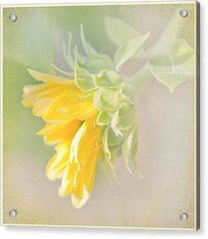 Acrylic Print featuring the photograph Soft Yellow Sunflower Just Starting To Bloom by Patti Deters