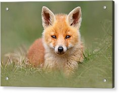 Softfox -young Fox Kit Lying In The Grass Acrylic Print by Roeselien Raimond