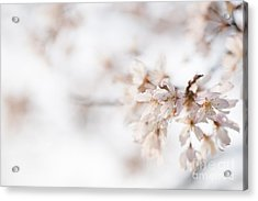 Softly Blossom Acrylic Print by Anne Gilbert