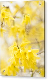 Softly Yellow Acrylic Print by Anne Gilbert
