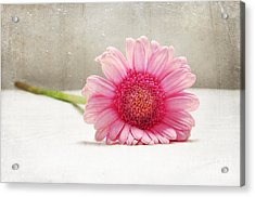 Softness In Pink Acrylic Print