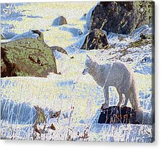 Solitary Fox Acrylic Print