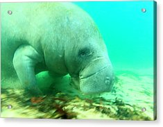 Solitary Manatee Swimming In The Weeki Acrylic Print by James White