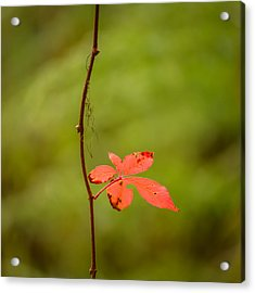 Solitary Red Leaf Acrylic Print