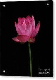 Red Lotus Acrylic Print by Dodie Ulery