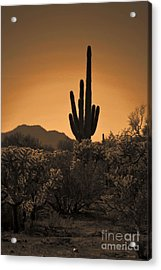 Solitary Saguaro Acrylic Print