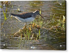 Solitary Sandpiper 2 Acrylic Print by James Petersen