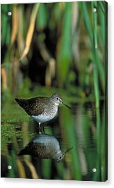 Solitary Sandpiper Acrylic Print by Paul J. Fusco