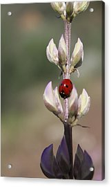 Solo Ladybug Acrylic Print by Ashley Balkan