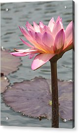Solo Waterlily Acrylic Print