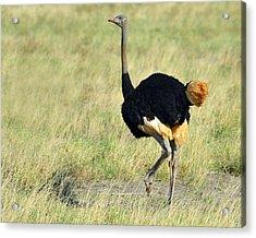 Somali Ostrich Acrylic Print by Tony Beck
